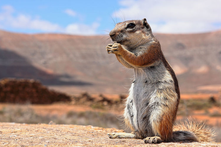 Berber squirrel