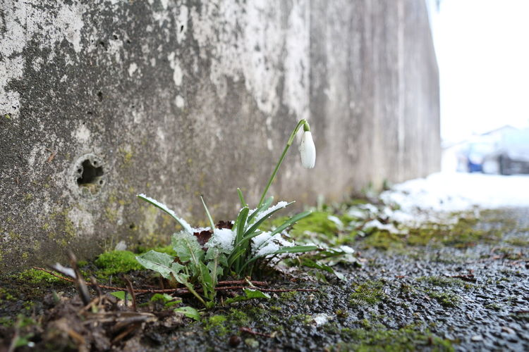 Close-up of white flower against wall