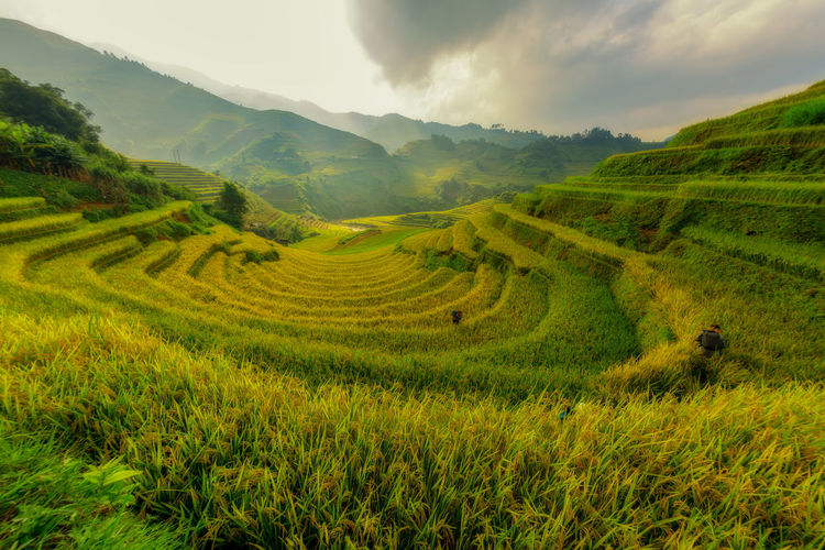 Mu Cang Chai Vietnam The beautiful terraced rice field the best landmark of Asia. Mountain Scenics - Nature Landscape Beauty In Nature Field Agriculture Rural Scene Land Tranquil Scene Environment Growth Green Color Plant Sky Tranquility Cloud - Sky Farm Nature Rice - Cereal Plant No People Outdoors Plantation Vietnam Vietnamsesfood Field Terraced Field Curve Aerial View Green Food Asian  View Travel Tourism