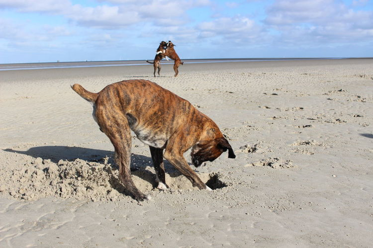 Boxer digging sand on shore at beach