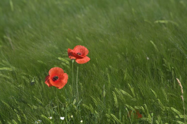 Red Poppy Flower Poppies In Cereal Field Green Color Outdoors Wonderful Nature Nature Collection Perfect Shot Flower Red Nature Poppy The Great Outdoors - 2017 EyeEm Awards Capture The Moment EyeEm Gallery Eyeem4photography Hello World Enjoy The Nature So Beautiful View Baden Austria Nikon_photography_ Beauty In Nature Cornfield Agrarwirtschaft Nikon_photography Great View Colour Your Horizn EyeEmNewHere