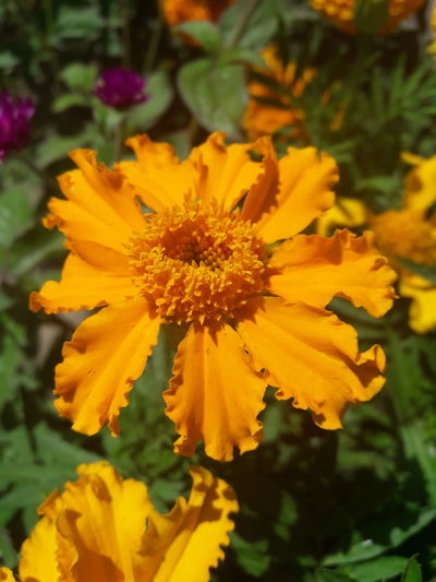 Flower Plant Yellow Nature Petal Growth Flower Head Fragility Botany Freshness Beauty In Nature Outdoors Close-up Day No People Summer Multi Colored Plant Part Marigold Herbal Medicine