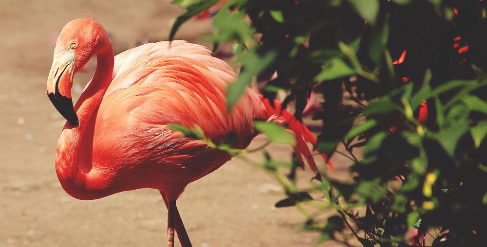 Flamingo walking by plant