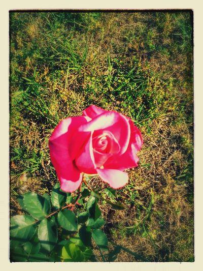 Flower Beauty In Nature Rose - Flower Petal Close-up Single Flower Nature Rosé Eyeem Nature EyeEm Nature Lover EyeEm Outdoors Nature Flower Head