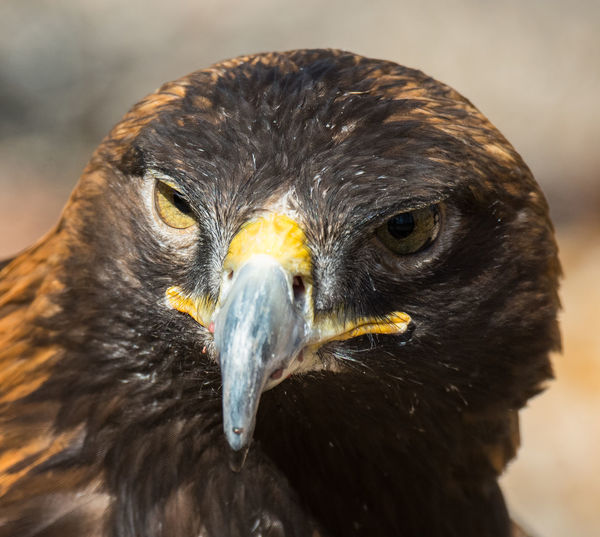 Feb 2018 - Female Bald Eagle Female Bald Eagle Animal Themes Animal Wildlife Animals In The Wild Beak Bird Bird Of Prey Close-up Day Focus On Foreground Looking At Camera Nature No People One Animal Outdoors Portrait