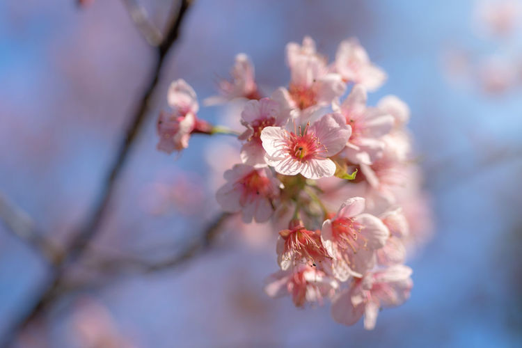 Sunray of pink cherry blossoms or sakura on the tree in winter with blue sky background Flowering Plant Flower Plant Freshness Fragility Vulnerability  Beauty In Nature Growth Blossom Close-up Nature Tree Cherry Blossom Springtime Selective Focus Pollen Petal Branch Day Inflorescence Flower Head Pink Color No People Outdoors Cherry Tree