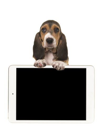 Cute french basset puppy hanging over an Ipad with space for text on a white background Basset Hound French Basset Looking Over Shoulder Ipad One Animal Domestic Animal Domestic Animals Animal Themes Dog Canine Cut Out Studio Shot Young Animal Communication White Background Pets