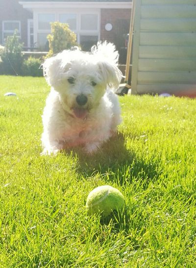 Dog Doggie Weechon Ball Playtime Fetch Sunshine Grass Fun In The Sun Sunnydays My Pet Animal Dog Love Playing In The Sun Garden Animals Animal_collection