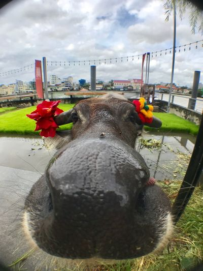 Buffalo and a friend Thailand Riverside Field Buffalo Cloud - Sky Sky Nature Water Day Animal Themes Built Structure Animal City