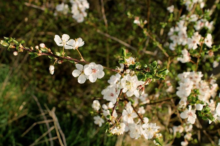 Beauty In Nature Blossom Branch Close-up Day Flower Flower Head Fragility Freshness Growth Nature No People Outdoors Petal Plum Blossom Tree White Color