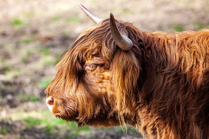 Animal Themes Close-up Day Domestic Animals Highland Cattle Livestock Mammal Nature No People One Animal Outdoors