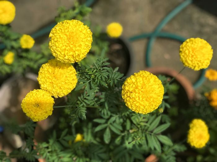 Marigold flower Growth Flower Yellow Freshness Outdoors Fragility Beauty In Nature Nature Plant Petal Day Focus On Foreground Flower Head Close-up No People Blooming Leaf Lantana Camara
