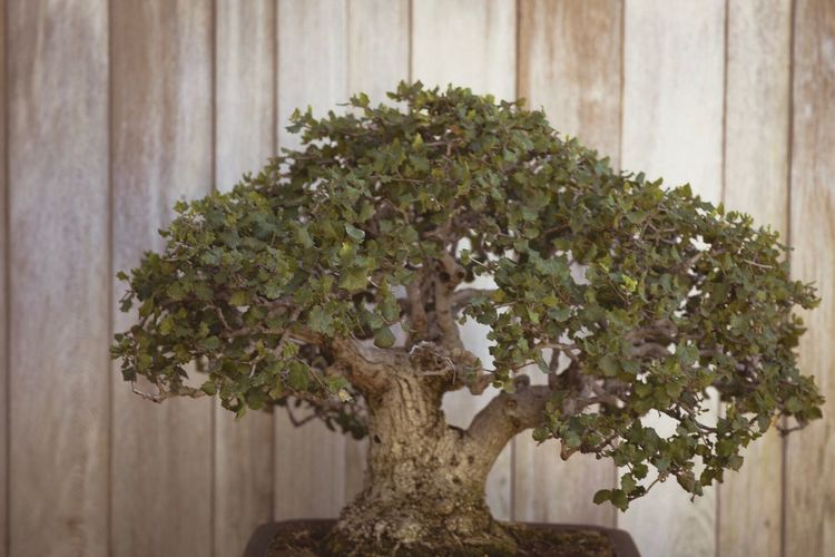 Growth Bonsai Tree Plant Tree Nature Potted Plant No People Green Color Indoors  Close-up Day Beauty In Nature Flower Growth Nature Garden