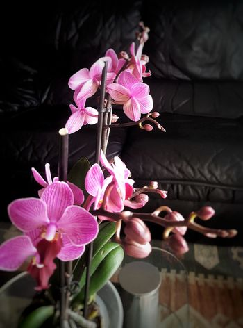 Buenos dias ! Asi luzco con luz... !! 😄 Orchidea Orchids Collection Orquídea❤ flower Pink Color Petal Fragility Flower Head Orchid Nature No People Beauty In Nature Black Background Close-up Indoors  Freshness Day