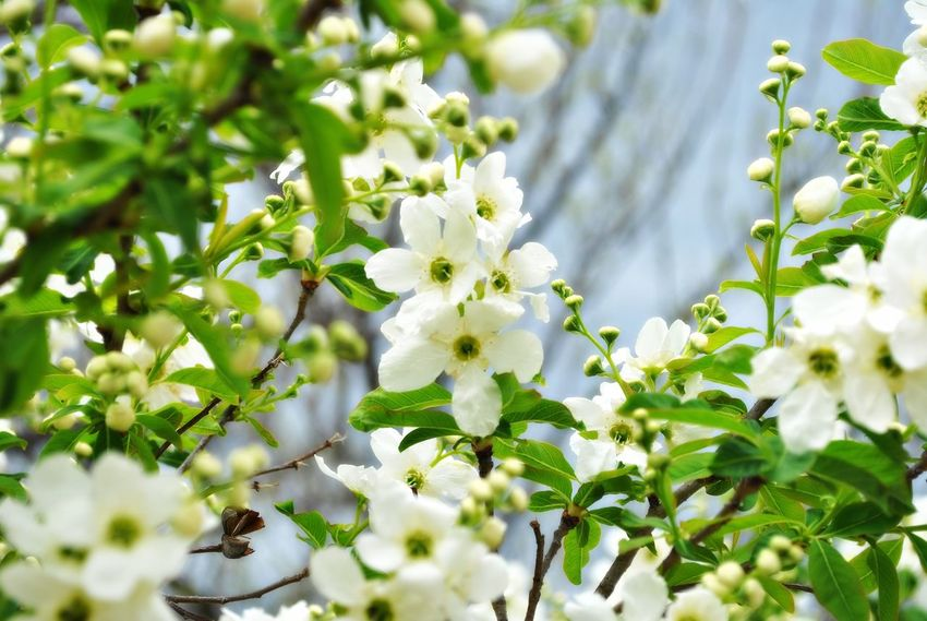 Beauty In Nature Blooming Blossom Branch Close-up Day Exochorda Racemosa Flower Fragility Freshness Growth Nature No People Outdoors Spring Tree White Color The Great Outdoors - 2017 EyeEm Awards The Street Photographer - 2017 EyeEm Awards Postcode Postcards
