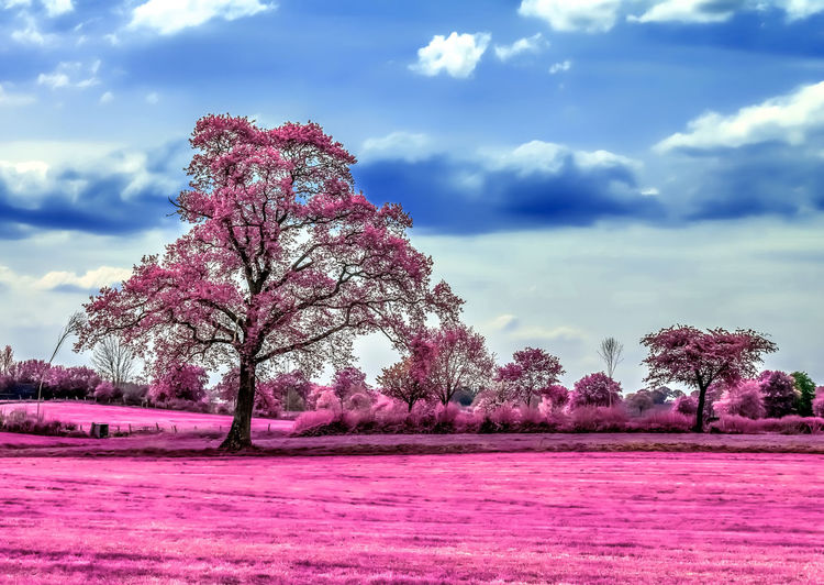Pink flower trees on field against sky