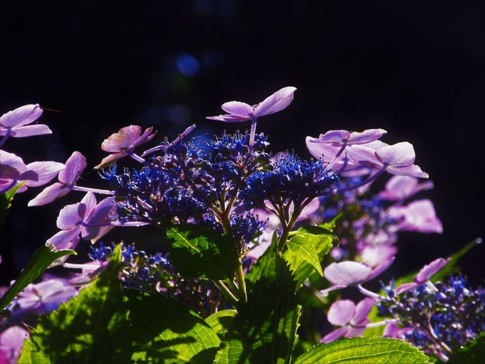 Hydrangea Nature Close-up Flower Flower Head Flowering Plant Nature No People Outdoors Petal Plant Purple Sunlight And Shadow