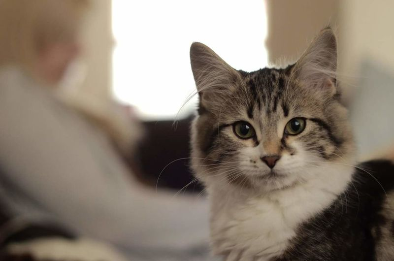 Domestic Cat Pets Domestic Animals Feline Indoors  Mammal Portrait Close-up Floof Fifi Kitten Mischievous