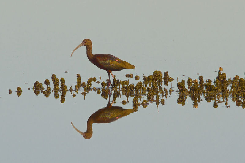 Reflection of black ibis in water