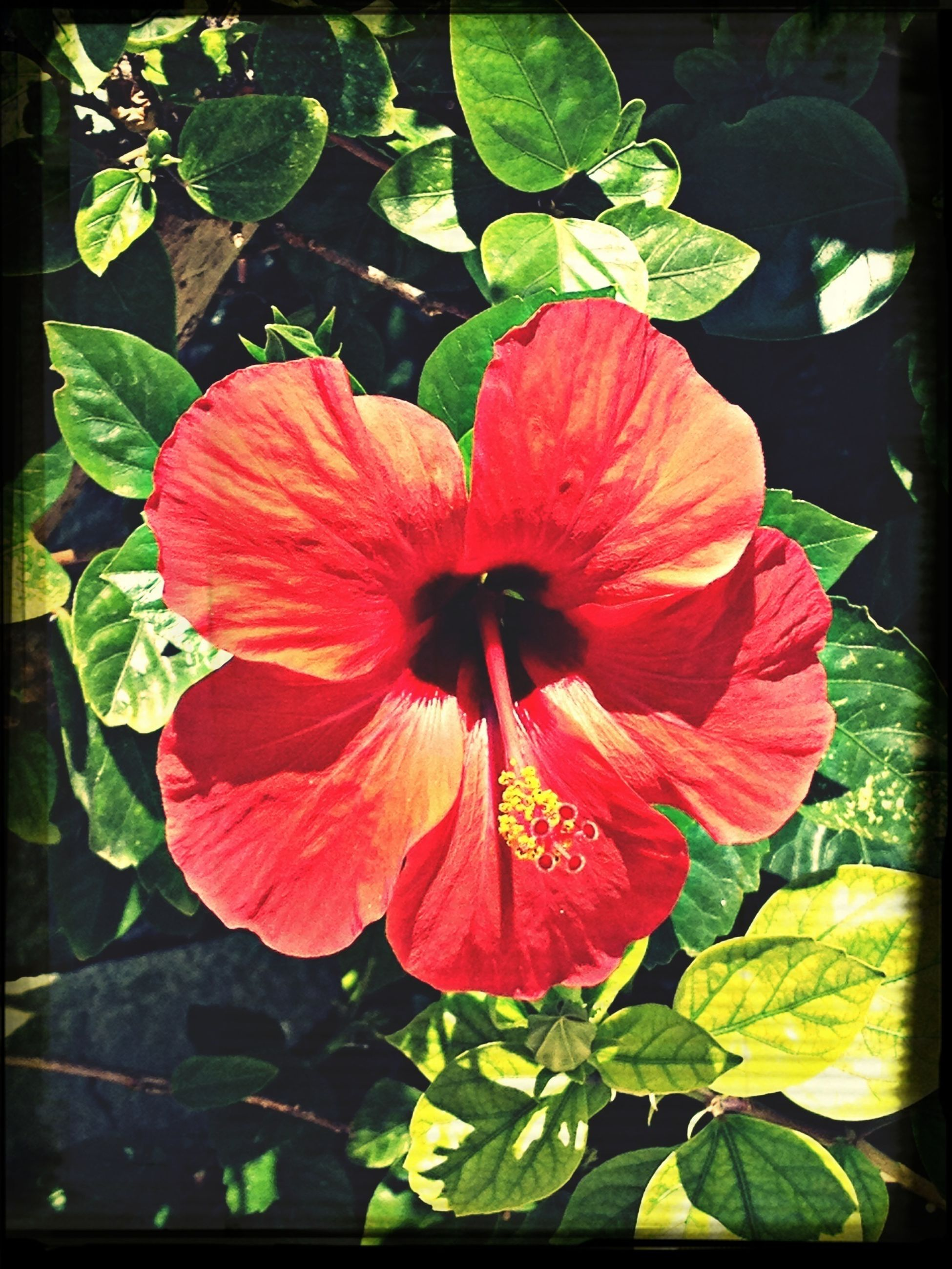flower, petal, flower head, freshness, fragility, growth, beauty in nature, leaf, single flower, blooming, hibiscus, red, close-up, plant, nature, stamen, pollen, high angle view, in bloom, focus on foreground