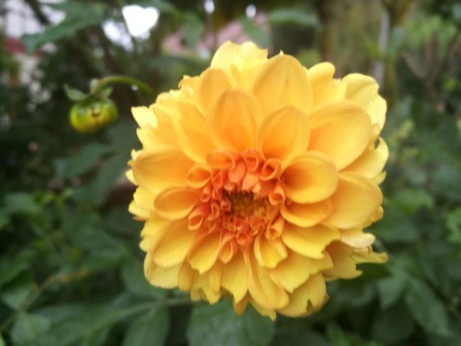 Flower Nature Petal Yellow Freshness Fragility Beauty In Nature Flower Head Focus On Foreground Growth Plant Close-up Outdoors Day No People Zinnia