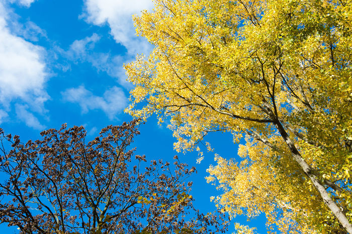 Colors of fall. Autumn Autumn Colors Autumn Leaves Beauty In Nature Blue Branch Day Fall Fall Beauty Fall Colors Gold Colored Growth Low Angle View Nature No People Outdoors Rural Scene Sky Tranquil Scene Tranquility Tree Yellow