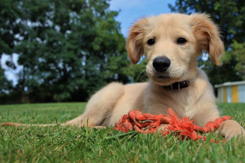 new puppy makes quick work of the new rope toy! Golden Retriever Close-up Dog Domestic Animals Grass No People One Animal Outdoors Pets Portrait Puppy Retriever