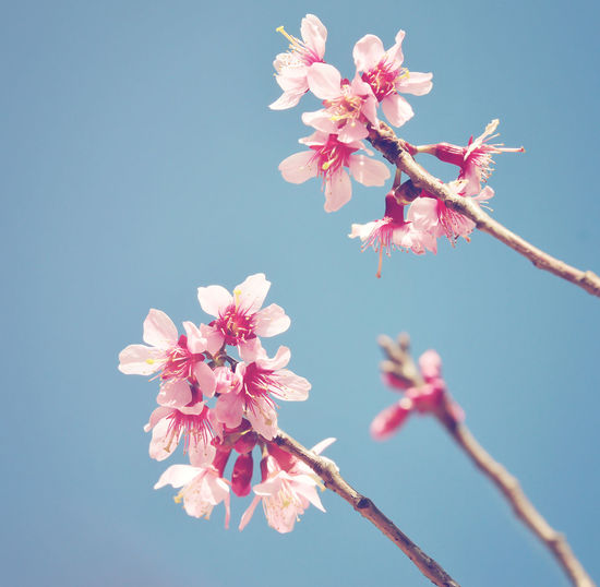 Soft focus of spring sakura pink flower with sun sky vintage color toned abstract nature background, instagram filter Flowering Plant Flower Plant Freshness Beauty In Nature Pink Color Petal Tree Blossom Nature Close-up Springtime No People Day Branch Cherry Blossom Flower Head Outdoors Cherry Tree Vintage Spring