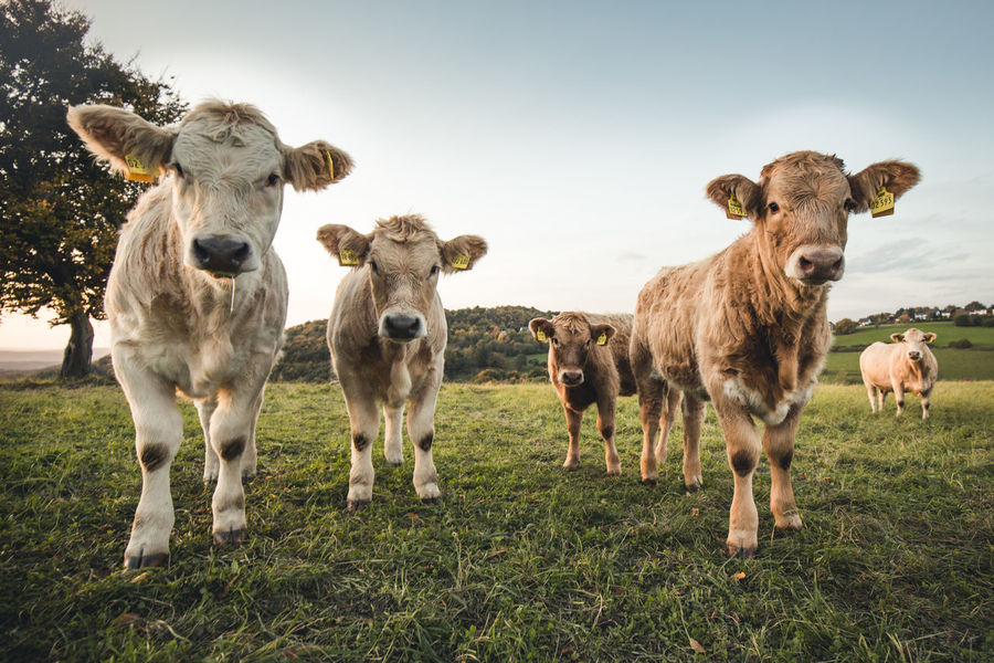 Young cows on a meadow at sunset in Germany Autumn Bull Farm Four Grass Linz Am Rhein Looking At Camera Rural Animal Themes Cow Domestic Animals Farmlife Field Grass Grassland Livestock Mammal Nature No People Outdoors Rural Scene Sunset Young Animal Young Bull Young Cow