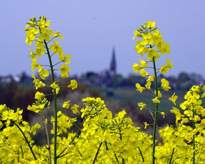 Agriculture Architecture Beauty In Nature Blooming Blossom Clear Sky Close-up Day Field Flower Fragility Freshness Growth Nature No People Outdoors Plant Rapeseed Field Scenics Sky Springtime Tree Yellow