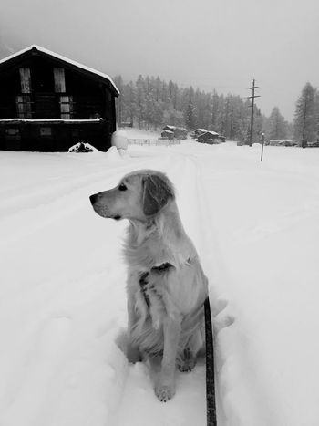 My golden perspective. EyeEmNewHere Outdoors One Animal Tree Nature Animal Themes Sitting White Color Domestic Animals Pets Weather Dog Cold Temperature Snow Winter Golden Retriever