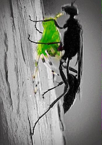 "Wasp radioactive Spider meal...😱😱😱 Or... just a mud dauber wasp ""collecting"" food for her new brood😋🍴 Hangin' @ The Shed O' Death 😱⚡️💀 Arachnipocalypse Attack Of The Macro Collection! Editjunky Fun With Editing :) No Edit No Fun Color Splash All The Neon Lights"