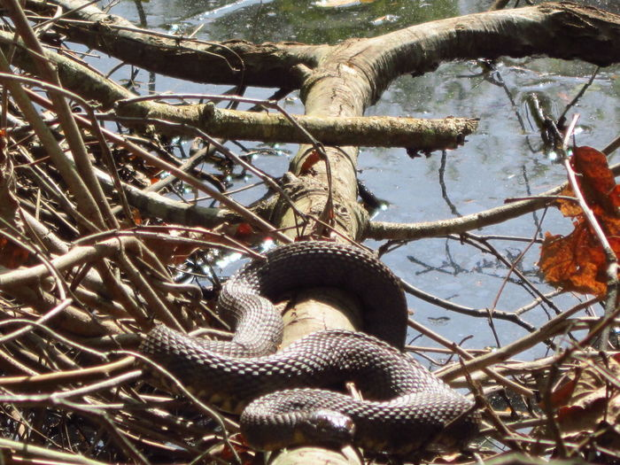 Living Dangerously Thrilling Venomous Snake Water Moccasin Pit Viper Cottonmouth Naturelover❤ Natures Beauty Beauty Everywhere Creekside NoEditNoFilter
