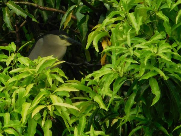 Sleeping Bird Green Color Plant Leaf Nature No People Growth Biology Freshness No Edit/no Filter Night Heron