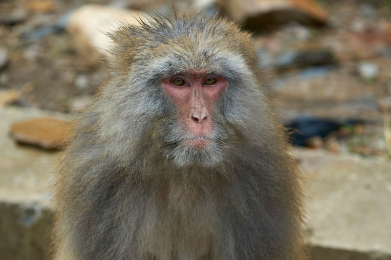 Seda Tibetan Macaque Macaque Macaque Monkey Monkey Animals In The Wild Animal Wildlife Primate Mammal Vertebrate Day One Animal Focus On Foreground No People Portrait Looking Animal Hair Outdoors Close-up