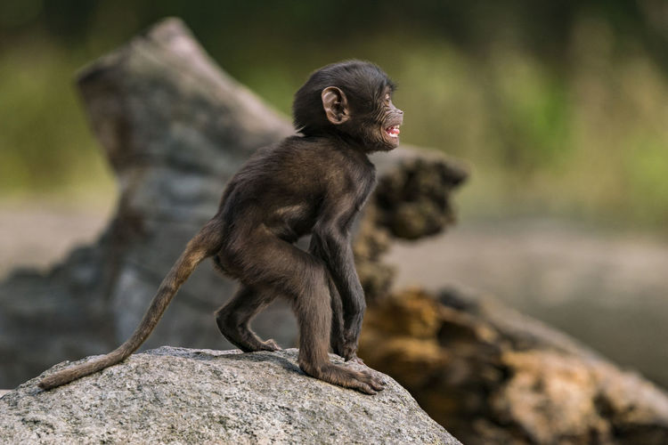 Close-up of young monkey standing on rock in zoo