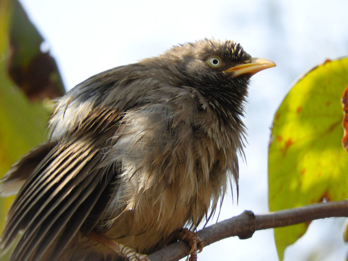 Beak Animal Themes Sky Leaves Branch Tree Perched India Forest Babbler Jungle Babbler Spring Bird Perching Tree Beak Close-up Feather  Woods Tree Trunk