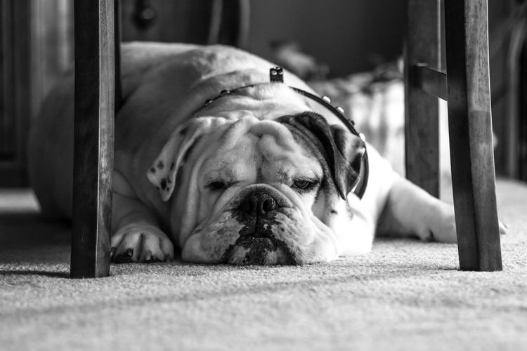 For the love of dogs. Bulldog Bulldogs Dogs English Bulldog Pet Photography  Pet Portraits The Week On EyeEm Animal Themes Black And White Canine Close-up Day Dog Dog Breed Domestic Animals Fur Babies Indoors  Mammal Man's Best Friend No People One Animal Pet Pet Portrait Pets Portrait