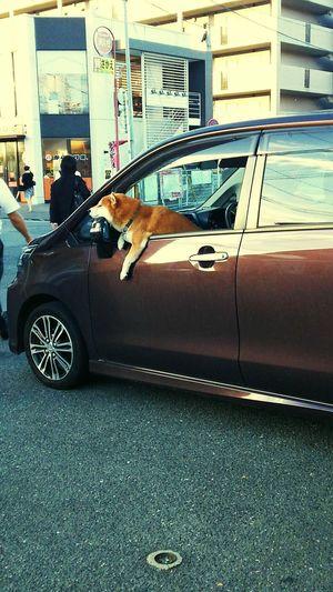 柴犬 Shibadog 犬 Dog 福岡 Fukuoka,Japan 待て Stay 駅前 Station Square