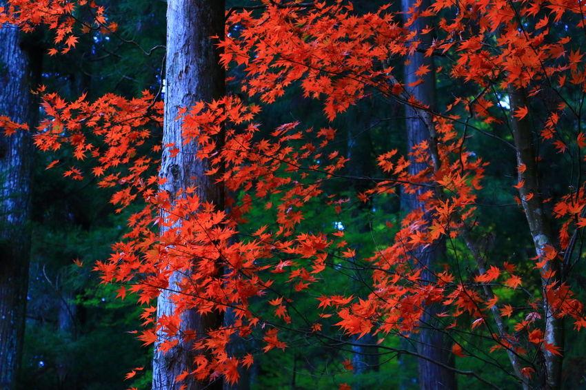 赤と緑🍁 Beauty In Nature Nature Autumn Enjoying Life 写真撮ってる人と繋がりたい 紅葉 ファインダー越しの私の世界 Canon EOS 70D EyeEm Best Shots EyeEm Gallery 写真好きな人と繋がりたい 紅葉2016 Canon 70d Flower
