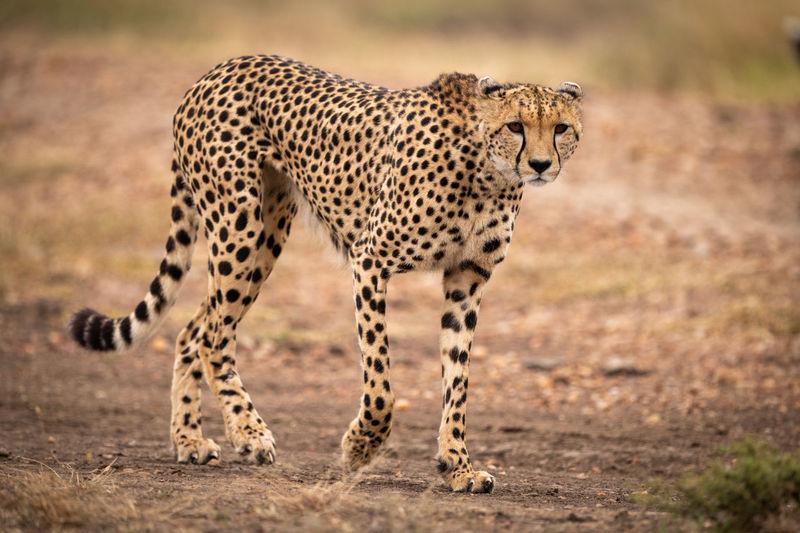 Portrait of cheetah walking on field