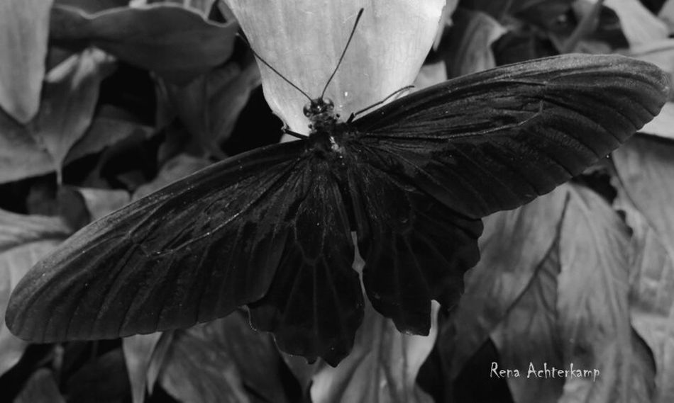 Black Butterfly Photography Black Butterfly Butterflies Butterflycatchers Butterfly Nature Macro Butterfly Collection
