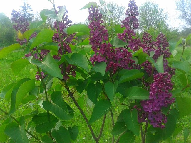 Lilac Lilac Flower Lilac Tree Lilac And Green Lilac Bush Russia Backgrounds Purple Lilac Blossoms сирень