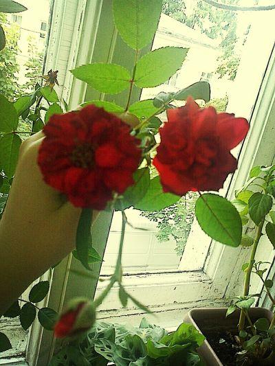 Розы)