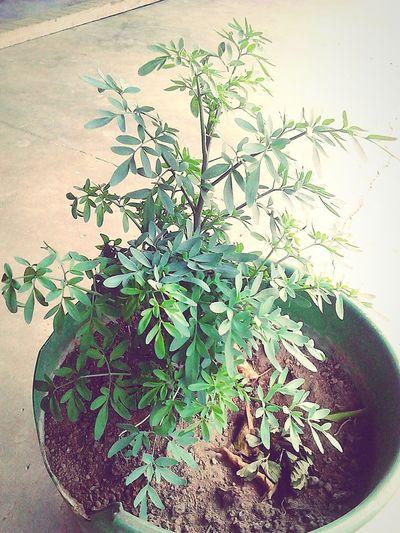 Plant medicinal! Ruda! Plant Green Color Herb Herbal Medicine No People Alternative Medicine Day Nature Guatemala