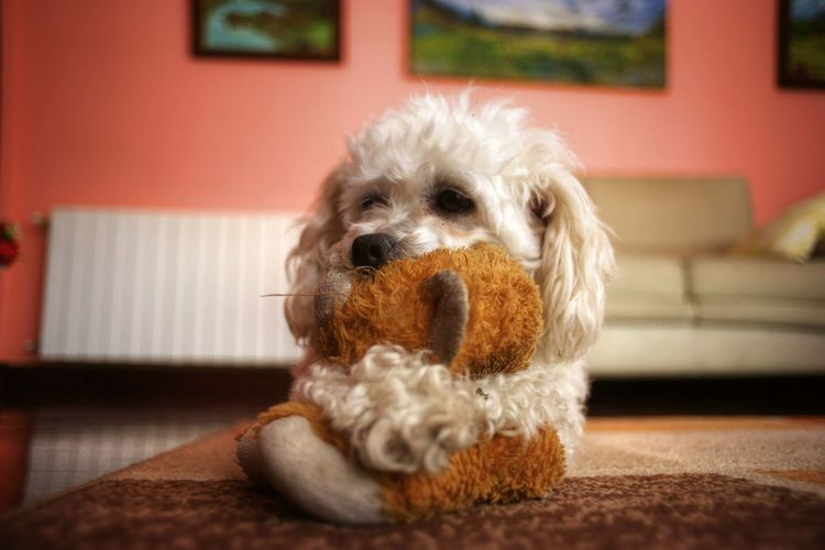 Lovers Pet Dog Dog Love Dogportrait Poodle Toy Poodletoy Caniche Canichetoy Lovely Pets Dog Portrait Friendship Living Room Home Interior Animal Hair Rug Cute Purebred Dog