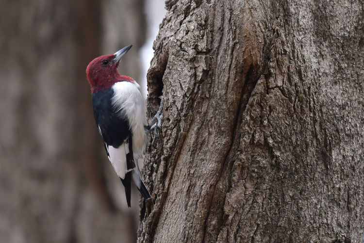 A Red-headed woodpecker perches on a tree. Aves Bark Animal Bark Texture Bird Erythrocephalus Melanerpes Melanerpes Eriyhrocephalus Nature Outdoors Perching Red Headed Woodpecker Tree Vertebrate Wild Wildlife Woodpecker