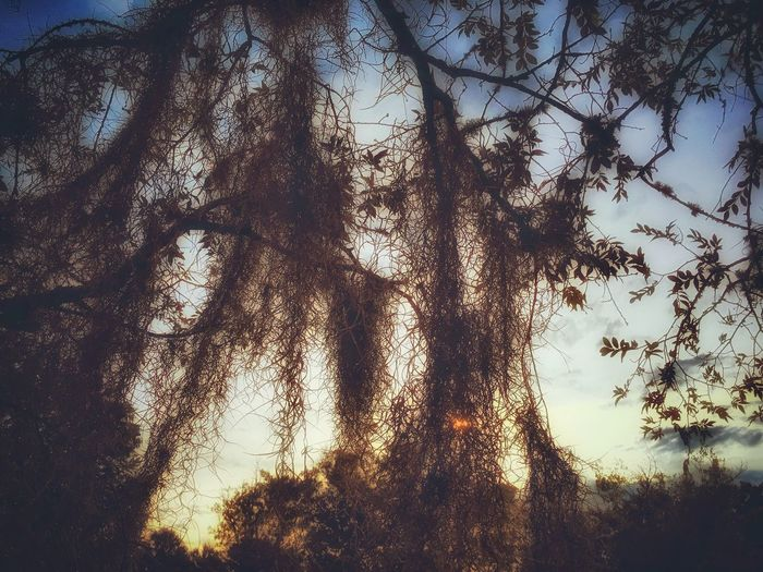 Spanish Moss makes a wonderful filter in which to view a sunset. 🍃 🌅 Evening Spanish Moss Tree Tranquil Scene Filtered Image Nature Tranquility Beauty In Nature Outdoors Low Angle View Forest Sky Scenics Leaves Contemplative Branch Walking Around Taking Photos Summer