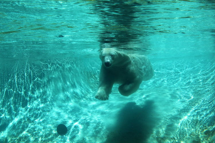 Bear Animal Themes Animals In The Wild Day Motion Nature No People Outdoors Swimming Water Waterfront White Bear