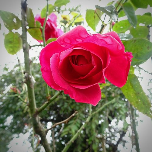 The rose is
